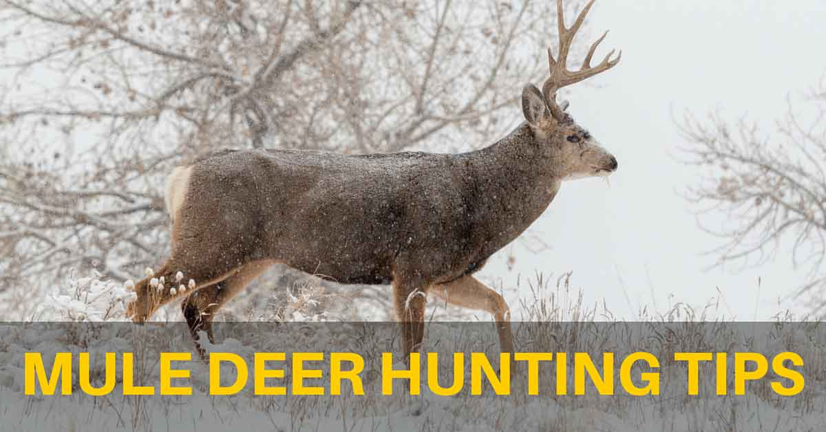 Mule Deer Hunting Tips