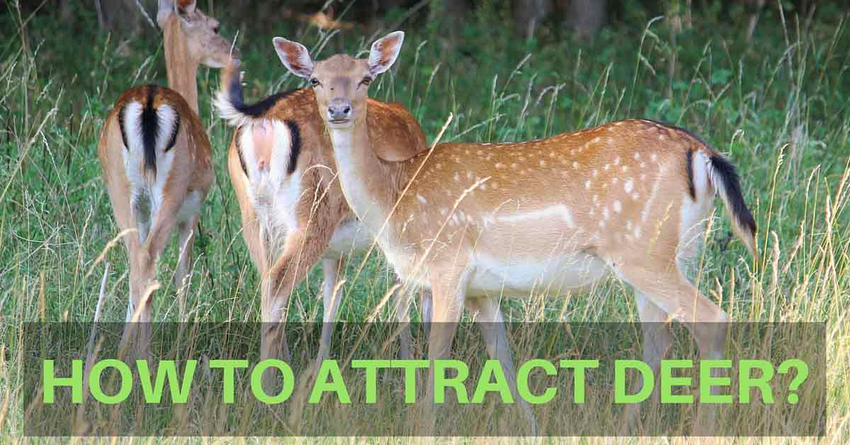 How to Attract Deer