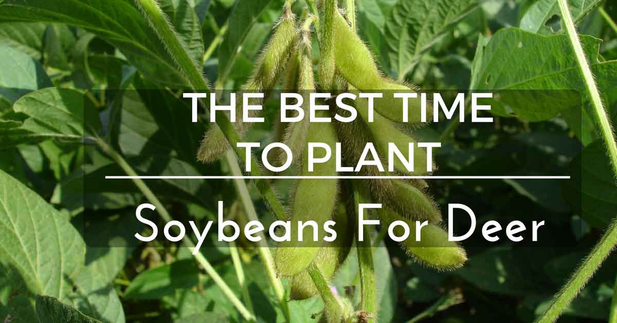 The Best Time to Plant Soybeans for Deer